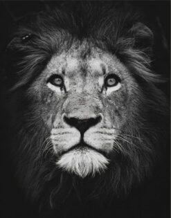 Zwart wit leeuw diamond painting