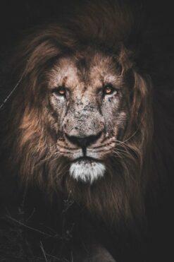 Grote leeuw
