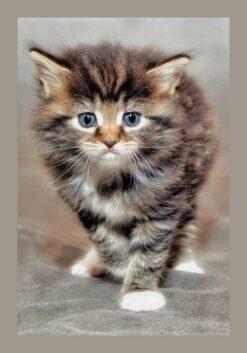 Harige kitten