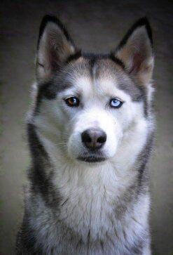 Husky met puppy ogen