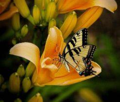 Vlinder in een bloem