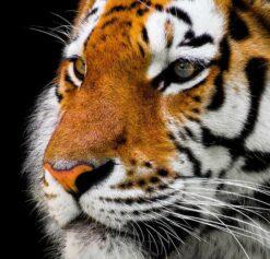 Volwassen tijger