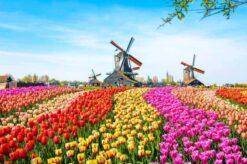 Windmolens met Nederlandse tulpen