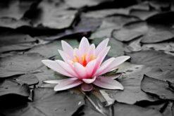 Zwart Wit foto met Roze water lelie