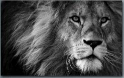 Leeuw in zwart wit - Dieren Diamond